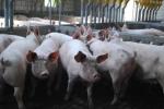 phil hogan,union européenne,crise laitière et porcine