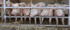 porcs-cochons-agriculture-france-viande-filiere-po-1129530-jpg_1003269.JPG